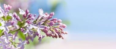 Arbusto de lila floreciente del Syringa de la visión macra Paisaje de la primavera con el manojo de flores violetas plantas flore fotos de archivo