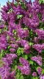 Arbusto de lila floreciente hermoso en primavera Imagen de archivo