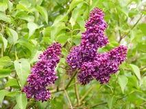 Arbusto de lila p?rpura hermoso que florece en primavera imagenes de archivo