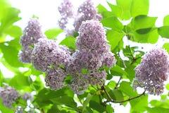 Arbusto de lilac de florescência Foto de Stock Royalty Free