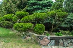 Arbusto de los bonsais Imagenes de archivo