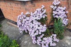 Arbusto de margarida cor-de-rosa na parte dianteira de uma casa em Inglaterra Imagem de Stock Royalty Free