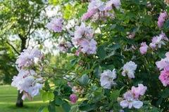 Arbusto de margarida cor-de-rosa na parte dianteira de uma casa em Inglaterra Imagens de Stock Royalty Free