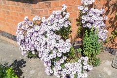 Arbusto de margarida cor-de-rosa na parte dianteira de uma casa em Inglaterra Foto de Stock
