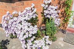 Arbusto de margarida cor-de-rosa na parte dianteira de uma casa em Inglaterra Fotos de Stock
