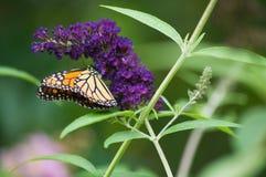 Arbusto de mariposa con la mariposa de monarca foto de archivo libre de regalías