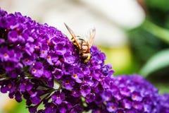 Arbusto de mariposa, davidi del Buddleia Imagenes de archivo
