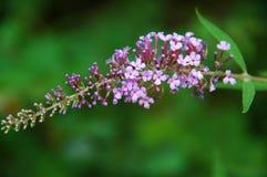 Arbusto de mariposa (davidii del Buddleia) Fotografía de archivo libre de regalías