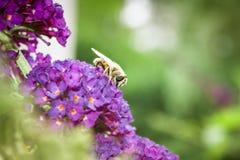 Arbusto de mariposa, davidii del Buddleia Imagenes de archivo