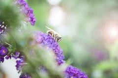 Arbusto de mariposa, davidii del Buddleia Fotos de archivo libres de regalías