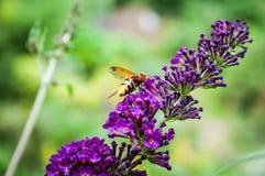Arbusto de mariposa, davidii del Buddleia Imágenes de archivo libres de regalías