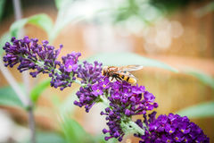 Arbusto de mariposa, davidii del Buddleia Foto de archivo libre de regalías