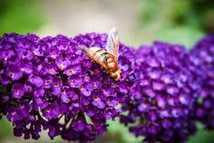 Arbusto de mariposa, davidii del Buddleia Fotografía de archivo