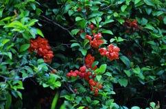 Arbusto de marmelo Fotos de Stock Royalty Free