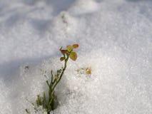 Arbusto de mirtilo Fotos de Stock Royalty Free