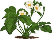 Arbusto de morango. Vetor imagens de stock royalty free