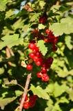 Arbusto de pasa roja Imagen de archivo libre de regalías