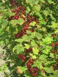 Arbusto de pasa roja Foto de archivo