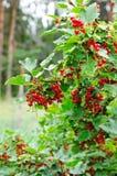 Arbusto de passa de Corinto vermelha Imagem de Stock