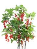 Arbusto de passa de Corinto vermelha isolado imagem de stock