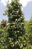 Arbusto de pimenta, gaiteiro Nigrum Foto de Stock