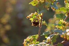 Arbusto de polinización del abejorro de la grosella negra Fotos de archivo libres de regalías