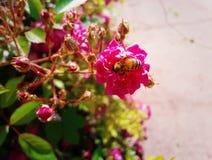 Arbusto de rosas Imagen de archivo