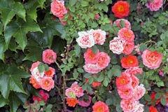 Arbusto de rosas Fotografía de archivo