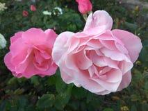 Arbusto de rosas cor-de-rosa na natureza Fotografia de Stock Royalty Free