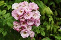Arbusto de rosas salvaje rosado en el jardín Imagen de archivo libre de regalías