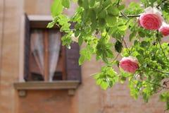 Arbusto de Rose después de la lluvia Fotos de archivo