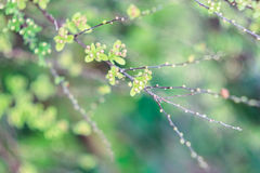Arbusto de Spirea Imagem de Stock