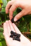 Arbusto de zarzamora del jard?n, comida antioxidante deliciosa de la dieta fotos de archivo
