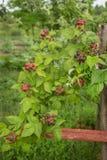 Arbusto de zarzamora orgánico Primer orgánico creciente de las bayas fotos de archivo