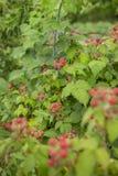 Arbusto de zarzamora orgánico Primer orgánico creciente de las bayas imagen de archivo