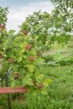 Arbusto de zarzamora orgánico Primer orgánico creciente de las bayas foto de archivo