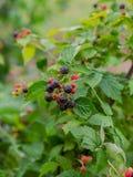 Arbusto de zarzamora orgánico Primer orgánico creciente de las bayas fotografía de archivo