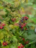 Arbusto de zarzamora orgánico Primer orgánico creciente de las bayas fotografía de archivo libre de regalías