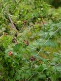 Arbusto de zarzamora orgánico Primer orgánico creciente de las bayas foto de archivo libre de regalías