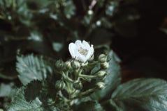 Arbusto de zarzamora y abeja florecientes, día de primavera soleado Fotos de archivo