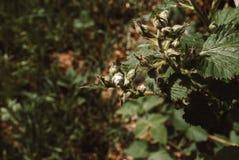 Arbusto de zarzamora y abeja florecientes, día de primavera soleado Foto de archivo