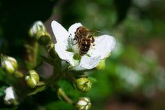 Arbusto de zarzamora y abeja florecientes, día de primavera soleado Foto de archivo libre de regalías