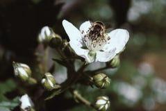 Arbusto de zarzamora y abeja florecientes, día de primavera soleado Fotos de archivo libres de regalías