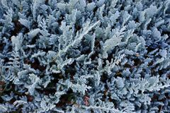 Arbusto de zimbro azul com geada como o fundo abstrato conífero Imagem de Stock