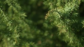 Arbusto de zimbro decorativo no local video estoque