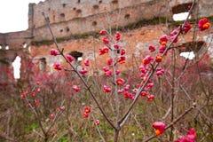 Arbusto deciduo, fiori rosa con i semi arancio del europaeus di euonymus o fuso Celastraceae fotografie stock libere da diritti