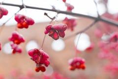 Arbusto deciduo, fiori rosa con i semi arancio del europaeus di euonymus o fuso Celastraceae fotografia stock
