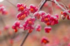 Arbusto deciduo, fiori rosa con i semi arancio del europaeus di euonymus o fuso Celastraceae immagine stock libera da diritti