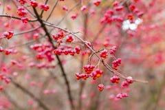 Arbusto deciduo, fiori rosa con i semi arancio del europaeus di euonymus o fuso Celastraceae immagine stock