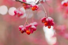 Arbusto deciduo, fiori rosa con i semi arancio del europaeus di euonymus o fuso Celastraceae fotografia stock libera da diritti